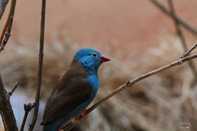 Blaukopf Schmetterlingsfink